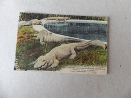 Paris Museum D'Histoire Naturelle Caïmans à Museau De Brochet Louisiane 269 - Andere