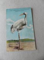 Paris Museum D'Histoire Naturelle Grue De Mandchourie Chine - Vogels