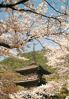 Japon - Kyoto - Kiyomizu Temple - Cerisiers En Fleurs - Voir Timbre Japonais - Nippon - CPM - Voir Scans Recto-Verso - Kyoto