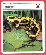 Salamandre De Feu Européenne Classification Batraciens Urodèles Fiche Illustree Documentée Animaux Animal - Animali