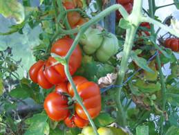 30 Graines De Tomate Du VOYAGEUR ( BIO) - 2. Zaden