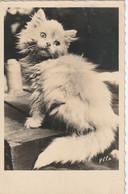 JA 26 - CHATON - PHOTOGRAPHIE YLLA ( KOFFLER ) - 2 SCANS - Katten