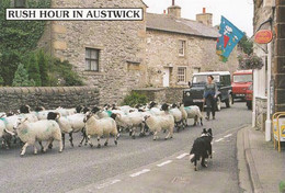 Rush Hour In Austwick Sheep Chaos At Post Office Yorkshire Village Postcard - Unclassified