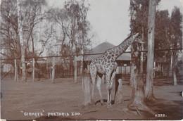 South Africa Postcard Pretoria Zoo Giraffe - Sud Africa