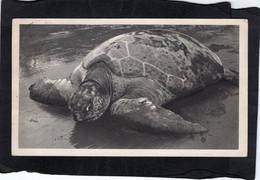 99758    Guinea  Equatoriale,  Tortue De Mer,  VG  1953 - Equatorial Guinea