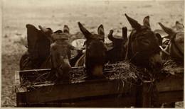 Lunch Time Douglas  ANE DONKEY EZEL ESEL MULES Donkeycollection - Isola Di Man (dell'uomo)