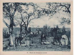 Pour L'Enseignement Vivant (24x18cm) - La France Economique - Recolte Des Chataignes En Limousin - Non Classés