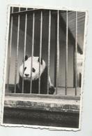 Panda In The Zoo Dz189-451 - Altri