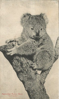 002239 - AUSTRALIA - AUSTRALIAN NATIVE BEAR - AUSTRALIAN NATIVE SERIES - 1907 - Other