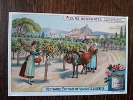L32/382 Chromo LIEBIG - Fleurs Odorantes . Cueillette Des Roses En Provence - Liebig