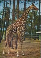 Parc Zoologique Du Tertre Rouge. Directeur-propriétaire Jacques Bouillault, Naturaliste. Girafe Réticulée. - (P) - La Fleche