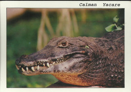 Caiman Yacare - La Serre Au Croco - Pierrelatte  - Photo L. Carati - (P) - Other Municipalities