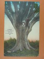 Lummen Le Gros Chêne De 1000 Ans - Lummen