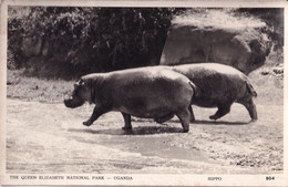 EAST AFRICA. THE QUEEN ELIZABETH NATIONAL PARK UGANDA. HIPPO - Hipopótamos