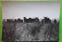 Toros Taureaux En Liberté Au Coeur De La Camargue,  Années 50 Ed GAL , TB - Taureaux