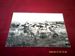 SAINTES MARIE DE LA MER  LE 20 08 1967   TRIAGE DES CHEVAUX SAUVAGES  MANADE  GUY DU PONT DE BANNES - Saintes Maries De La Mer