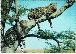 CPSM Ouganda Uganda Two Leopards On A Tree, Timbre 1968 ? - Uganda