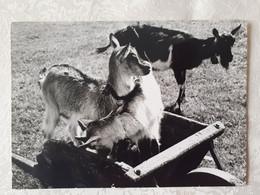 CPSM 25 PHOTO STAINACRE Chèvres Images De Franche-Comté 1971 - Non Classificati