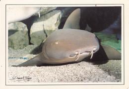 REQUIN NOURRICE  CINGLYMOSTOMA CIRRATUM - Vissen & Schaaldieren