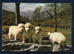 Carte Postale - Jeunes Chiens Des Pyrénées - Elevage De La Tour De Vidalos - Hunde