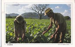 Cuba Recolte Du Tabac - World