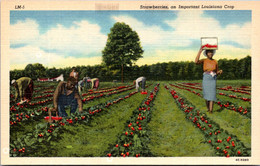 Louisiana Picking Strawberries An Important Lousiana Crop Curteich - Other