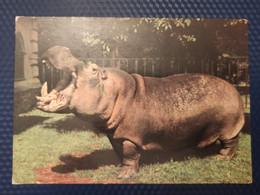 Hippo - Wroclaw ZOO -  Old PC 1970s - Ippopotami