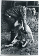 BLARS LOT 46 QUERCY Laine Bergers Tonte Moutons Mouton élevage Brebis Pastoralisme Berger Bergerie Pastre Shepherd Sheep - Other Municipalities