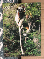 MADAGASCAR SINGE - Madagascar
