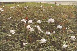 """A Rose Garden"" Tuck Oilette Postcard # 9699 - Tuck, Raphael"