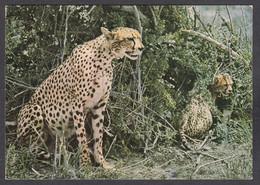 116655/ Guépard, Acinonyx Jubatus, Cheetah With Cub - Autres