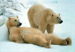 CPM - OURS Polaire - Svalbard (archipel De La Norvège Situé Dans L'océan Arctique) - Bären