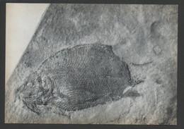 (427) INSTITUT ROYAL DES SCIENCES NATURELLES DE BELGIQUE BRUXELLES : POISSON CHONDROSTEEN VERTEBRES FOSSILES N° 1 - Museum