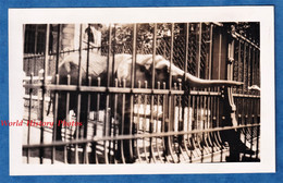 Photo Ancienne Snapshot - Zoo à Situer - Portrait D'un Petit éléphant - Animal Parc Zoologique Jardin Parc Cage Grille - Luoghi