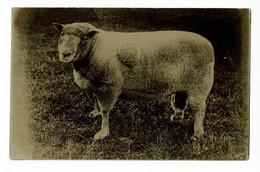 """Carte Photo - Mouton """"Mérinos"""" ???? - Pas Circulé - Other"""