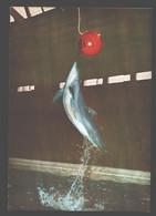 Zoo Antwerpen - Tuimelaar / Souffleur / Bottlenose Dolphin - Dolfijnen
