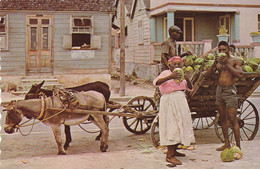 THE TROPICAL CARIBBEAN  Native Coconut Vendor - Unclassified