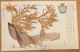 Algues Marines - Coloration Naturelle (used, 1903) - Otros