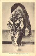 Tigre Du Bengale Du Zoo D'Amsterdam Artis Bengaalsche Koningstijger - Tigers