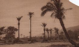 PALESTINE - PALM TREES FOREST NEAR  THE RIVER KISHON - HAIFA - Palestine