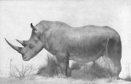 Chicago Natural History Museum White Rhinoceros Rhinocéros Blanc Au Musée D'histoire Naturelle De Chicago - Rhinoceros