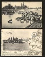 Conjunto De 2 Postais Antigos De: GOLEGÃ Gado. Set Of 2 Old Postcards (Santarem) PORTUGAL 1900s - Santarem