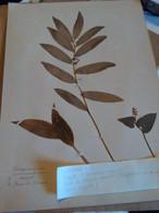 Planche Herbier Liliaceae - B. Bloemplanten & Bloemen