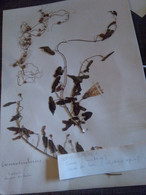 Planche Herbier Convolvulaceae - B. Bloemplanten & Bloemen