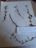 Planche Herbier Brassicaceae - B. Bloemplanten & Bloemen