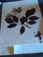 Planche Herbier Caprifoliaceae - B. Bloemplanten & Bloemen