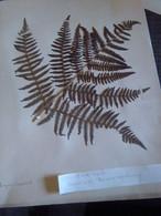 Planches Herbier Ptéridophytes - B. Bloemplanten & Bloemen
