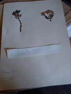 Planche Herbier Rosaceae - B. Bloemplanten & Bloemen