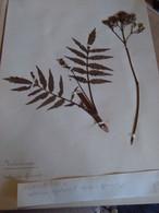 Planche Herbier Valerianaceae - B. Bloemplanten & Bloemen