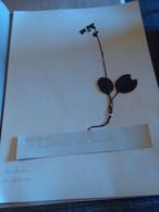 Planche Herbier Ericaceae - B. Bloemplanten & Bloemen